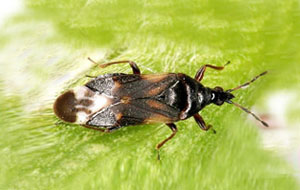 Anthocoris nemoralis