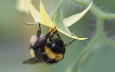 Bumblebees and pollination
