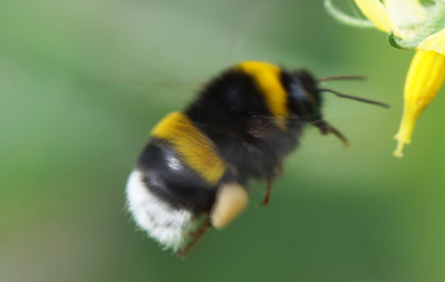 Bumblebee Species